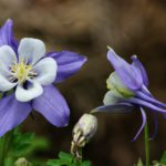Columbines are truly goofy-looking flowers. But I love them.